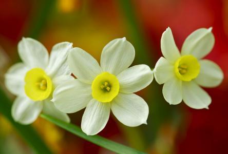 水仙花,三重奏,宏