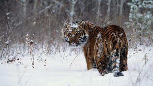 乌苏里虎,白雪覆盖的枪口,老虎
