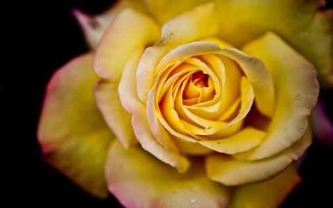 花,玫瑰,宏,花瓣,水,滴,花,玫瑰,宏,花瓣,水,滴