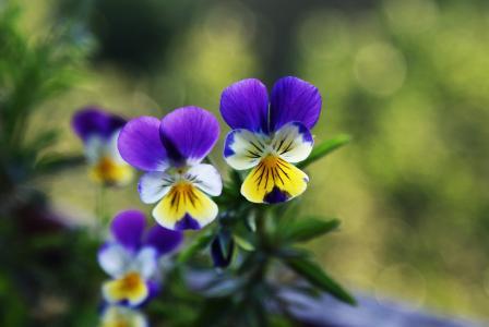 紫色,黄色,三色堇