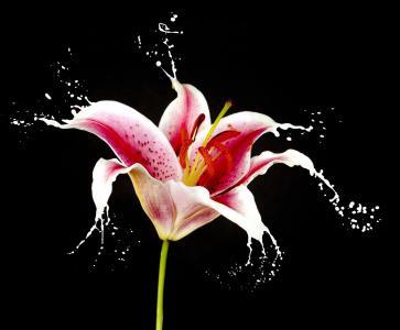 美丽,花卉,百合,宏,喷雾,水