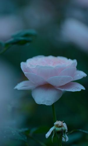 娇嫩清新的月季花