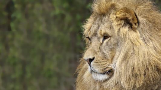非洲草原之王雄狮