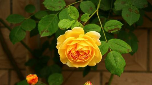 艳丽迷人的月季花