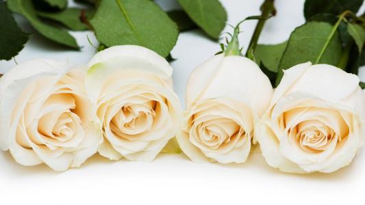 玫瑰,白色