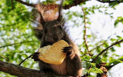松鼠,在树上,面包