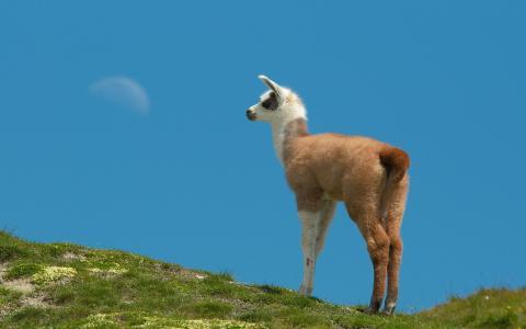 骆驼,山脉,天空