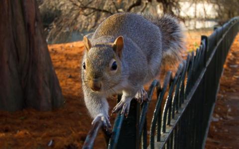 松鼠,篱笆