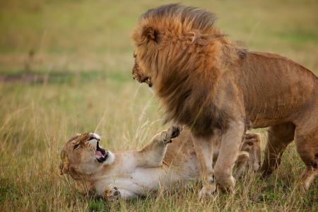 狮子,母狮,拆解,狮子