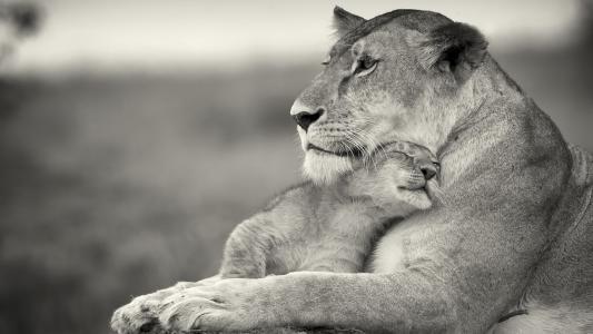 母亲,狮子