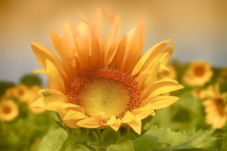 向日葵,花,植物区系