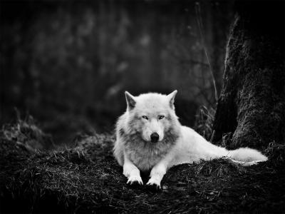 白狼,眼睛,黑暗,森林