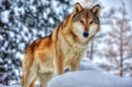 狼,捕食者,枪口,毛皮,冬天