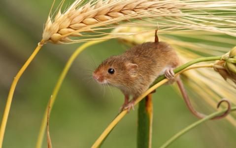 鼠标宝贝,耳朵,宏