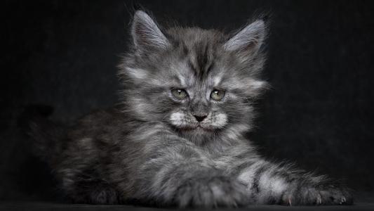 蓬松,小猫,壁纸