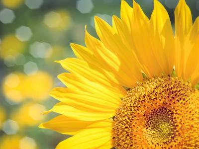 优美迷人的向日葵
