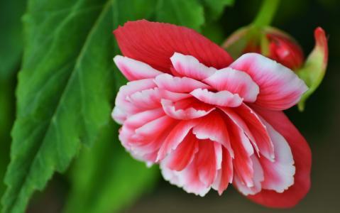 海棠,花瓣,宏