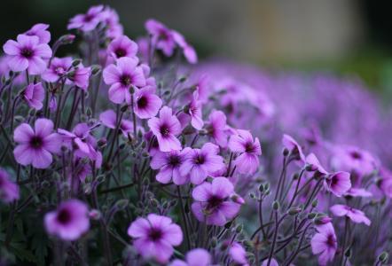 花卉,丁香,天竺葵,小茴香