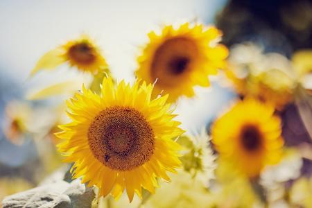 自然,向日葵,夏天