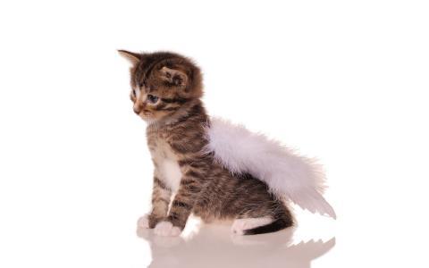 小猫,翅膀