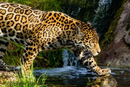捷豹,野猫,捕食者,斑点,小溪,散步