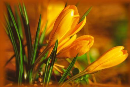 鲜花,番红花,宏