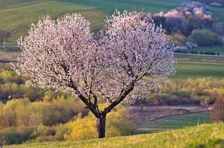 心形海棠树唯美风景