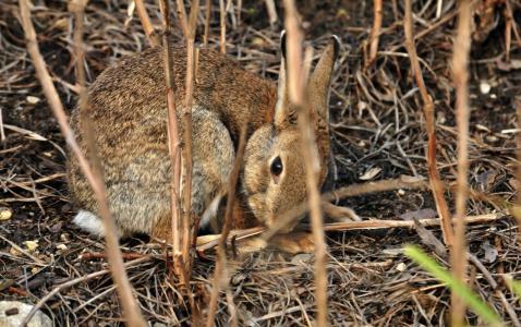 动物,野兔