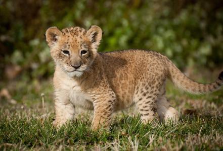 狮子,狮子,捕食者