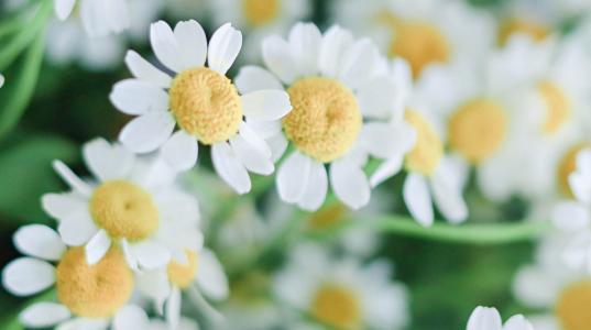 娇嫩优美的雏菊花