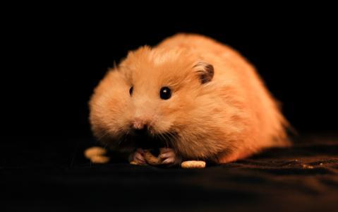 仓鼠,脂肪,啮齿动物