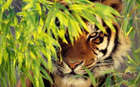 老虎,查看,分支机构