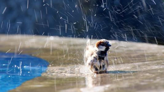 麻雀,喷雾,水,小鸟,鸟,水