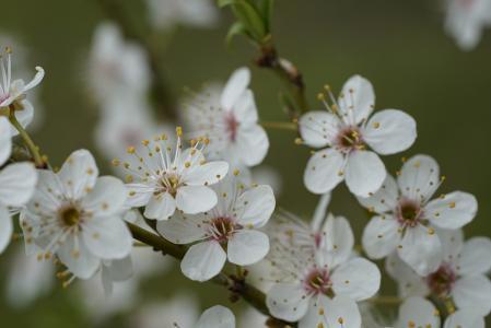 优美好看的山桃花
