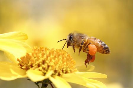 蜜蜂,花,宏,昆虫
