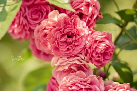 玫瑰布什,玫瑰