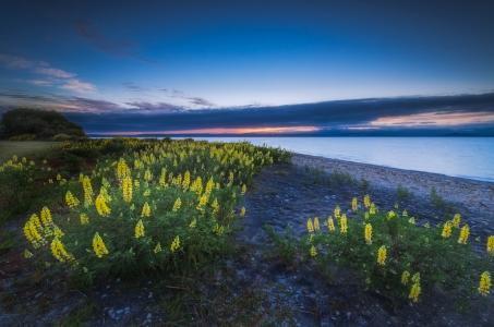 新西兰陶波湖,新西兰陶波湖,花卉,羽扇豆,景观,湖泊