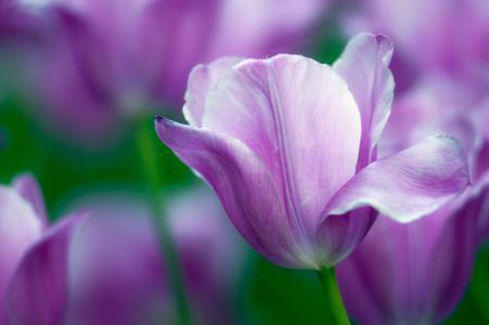 郁金香,鲜花,紫色