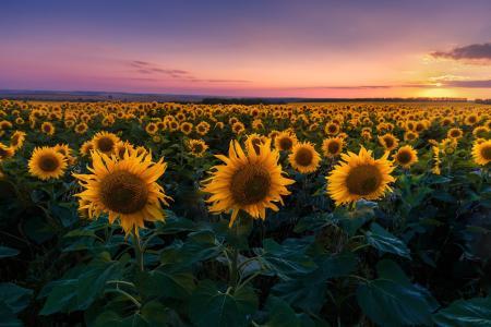 领域,向日葵,晚上,日落,太阳