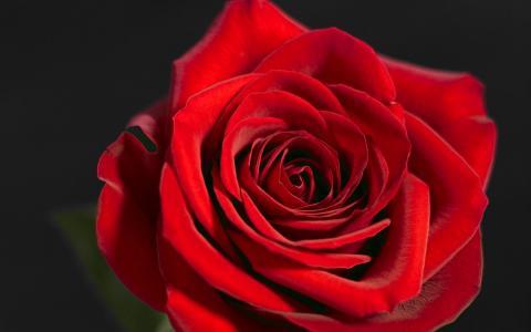 玫瑰红,猩红色