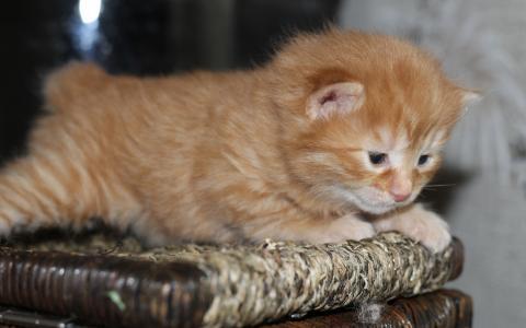 红发,小猫,美国人,鲍勃