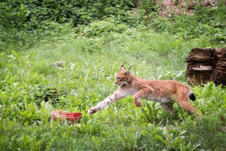 l,,野猫,捕食者,爪子,跳跃,肉,草,绿党,灌木丛