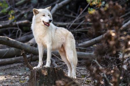 白狼,狼,捕食者,英俊的男人