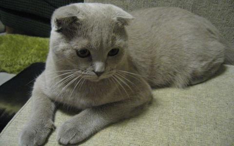 苏格兰折,猫,壁纸
