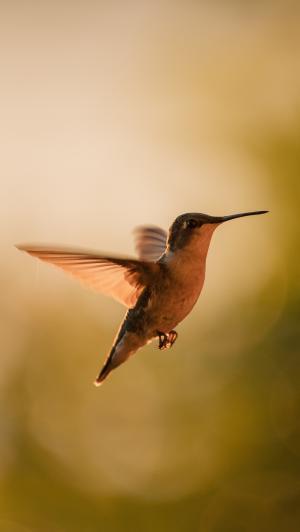 展翅高飞的蜂鸟