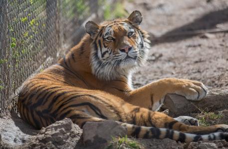 老虎,野猫,捕食者,枪口,休息,动物园