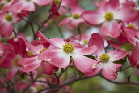 山茱萸,分支机构,花瓣,宏,开花,散景