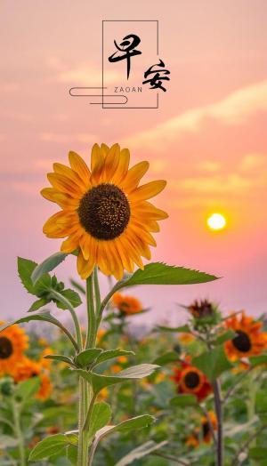 早安优美的向日葵