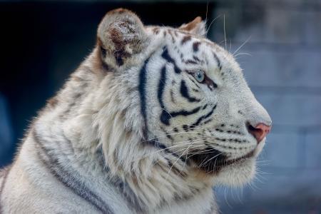白虎,老虎,野猫,捕食者,枪口,轮廓