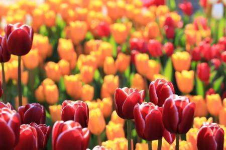 郁金香,红色,黄色,宏观
